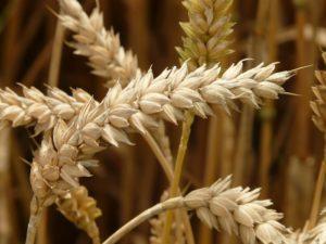 Pšenica podporuje trávenie